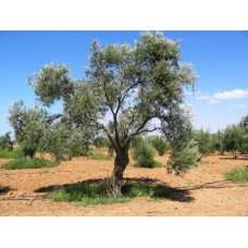 Estate Grown Koroneiki Greek EVOO 375ML only - Available While Supplies Last